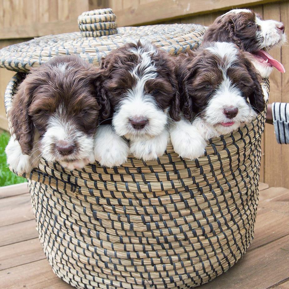 Springerdoodle dog image