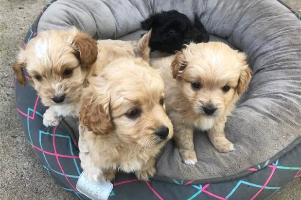 Tiboodle Puppies